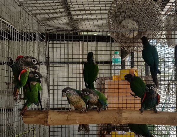 red african grey parrot for sale