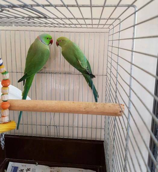 green winged macaws for sale