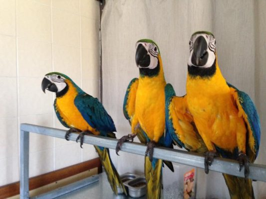 Get a Blue-And-Gold Macaw